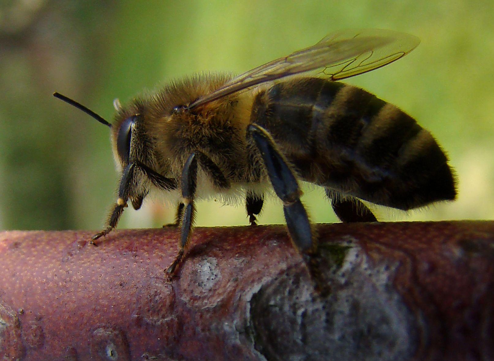 Biene auf Stängel