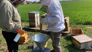 Einschlagen einiger Bienen in die Mini Plus Beute